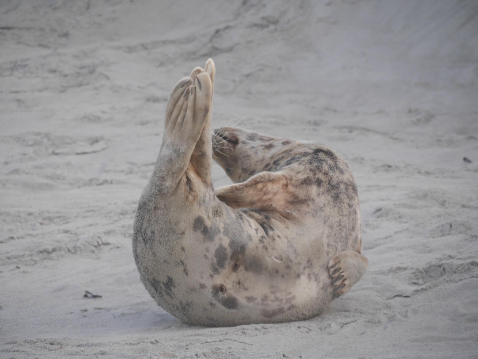 Yoga für Robben