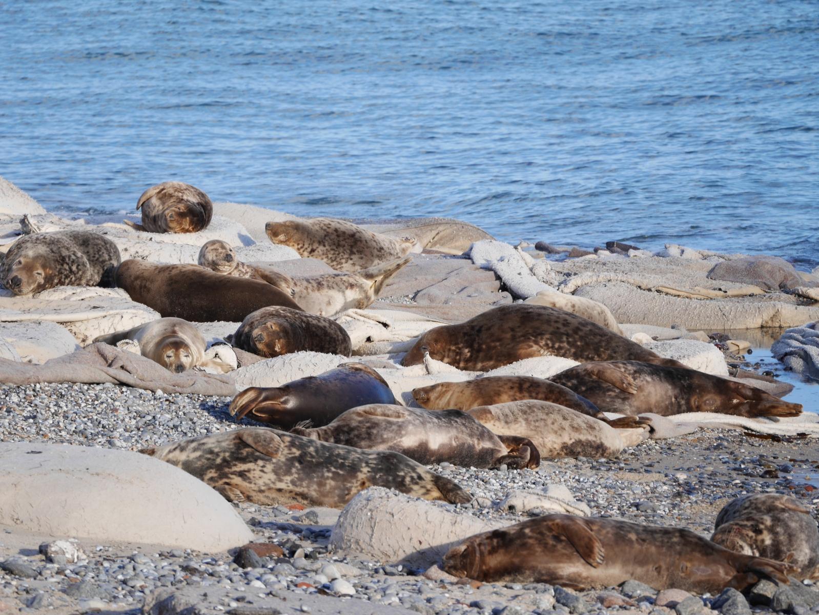 Dicht gedrängt findet sich hier eine Robbenkolonie