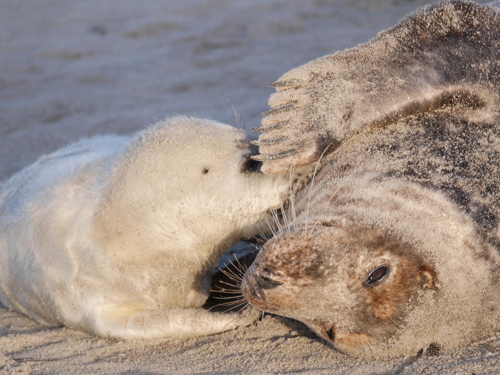 Säugendes Robbenbaby
