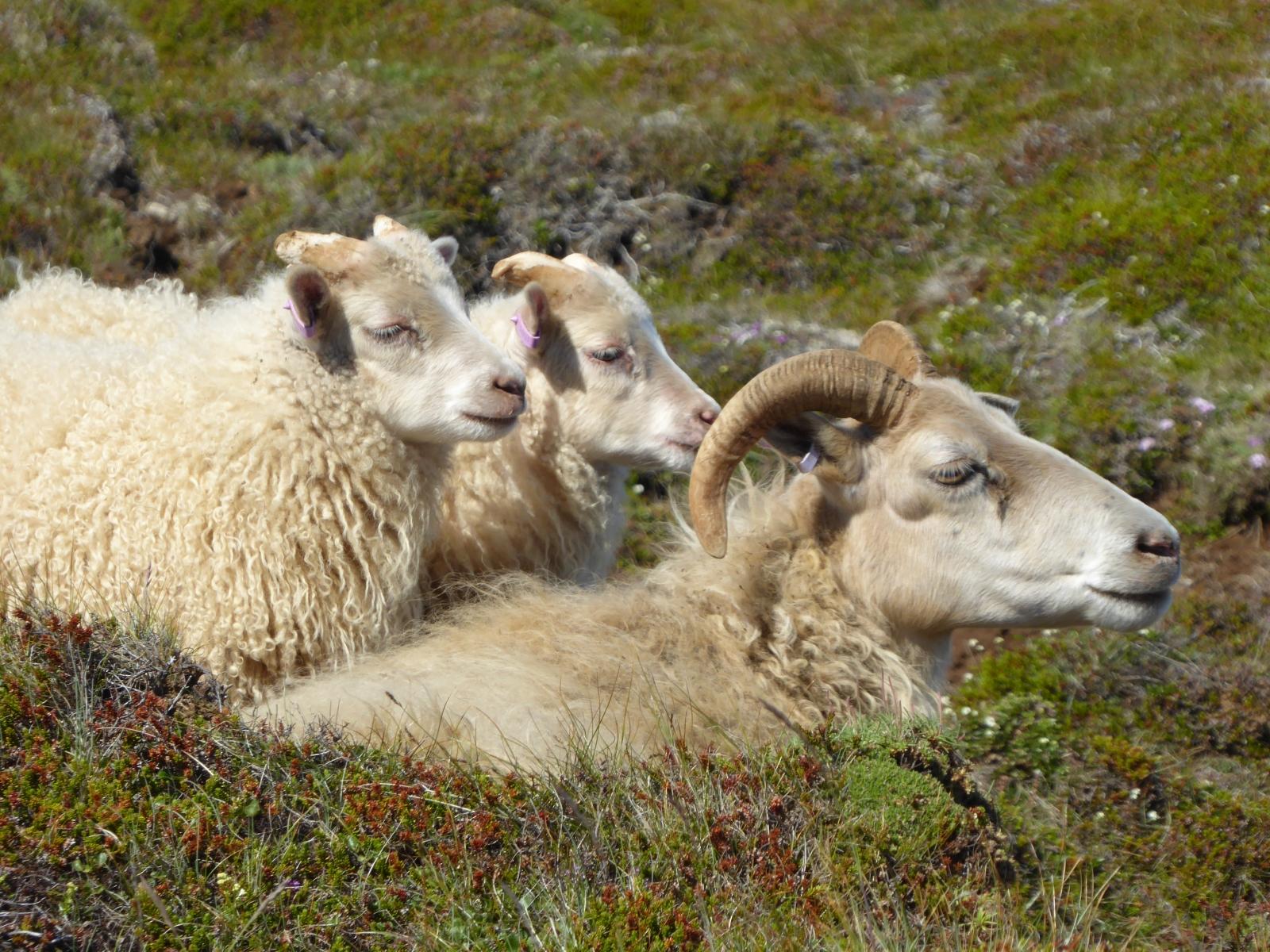 Schafe gibt es immer und überall. Es sollen mindestens 10 x so viele Schafe wie Einwohner geben.
