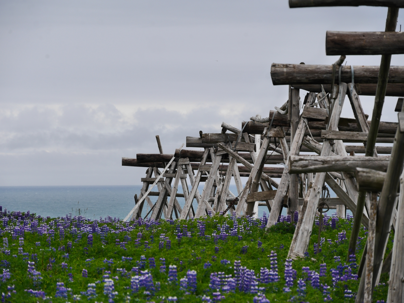 Holzgestelle, die zur Trocknung von Fisch dienen, umgeben von Lupinen, die in dieser Jahreszeit überall üppig blühen.