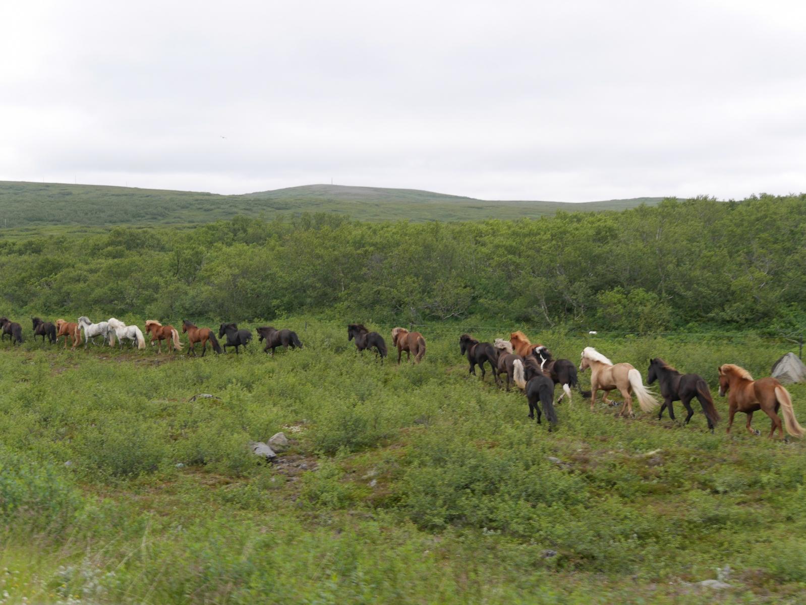 Eine Gruppe von Reitern, die gemeinsam mit einer freilaufende Herde reiten.