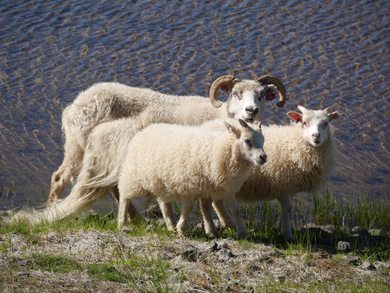 Schafe finden sich überall, auch direkt am Strand