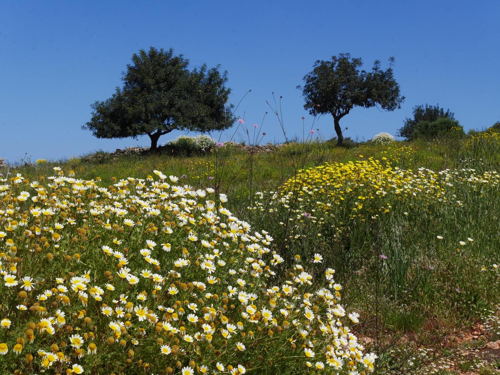 Riesige Büsche von wilden Margeritten, im Hintergrund Olivenbäume.