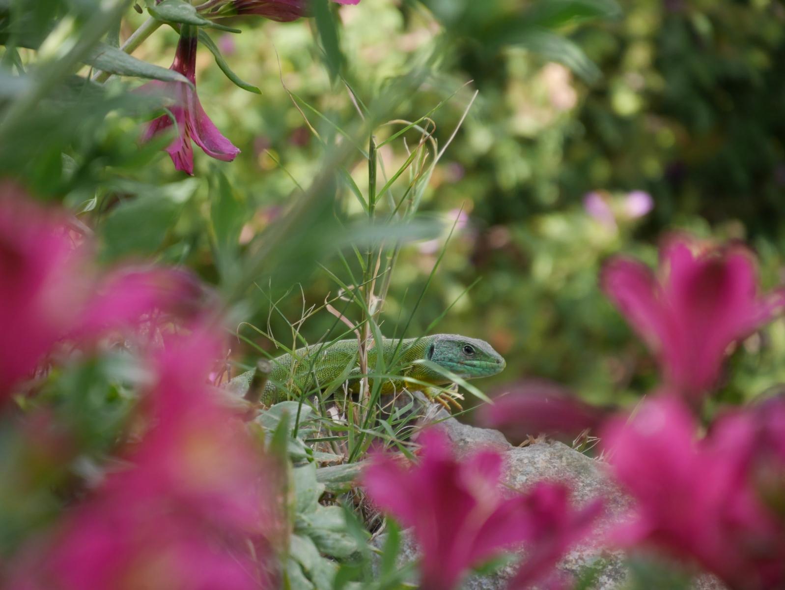 Eine Türkisgrüne und sehr scheue Echse von gut 20 cm Länge kriecht am Boden.