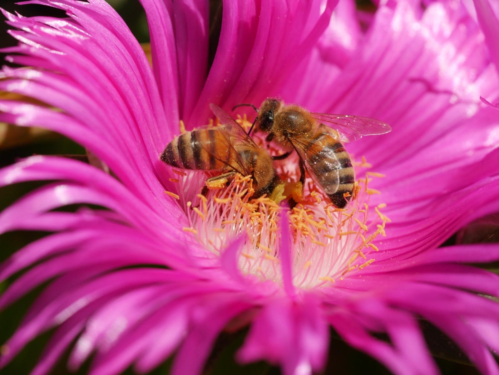 Sehr selten kann man zwei Insekten in einer Blüte beobachten.