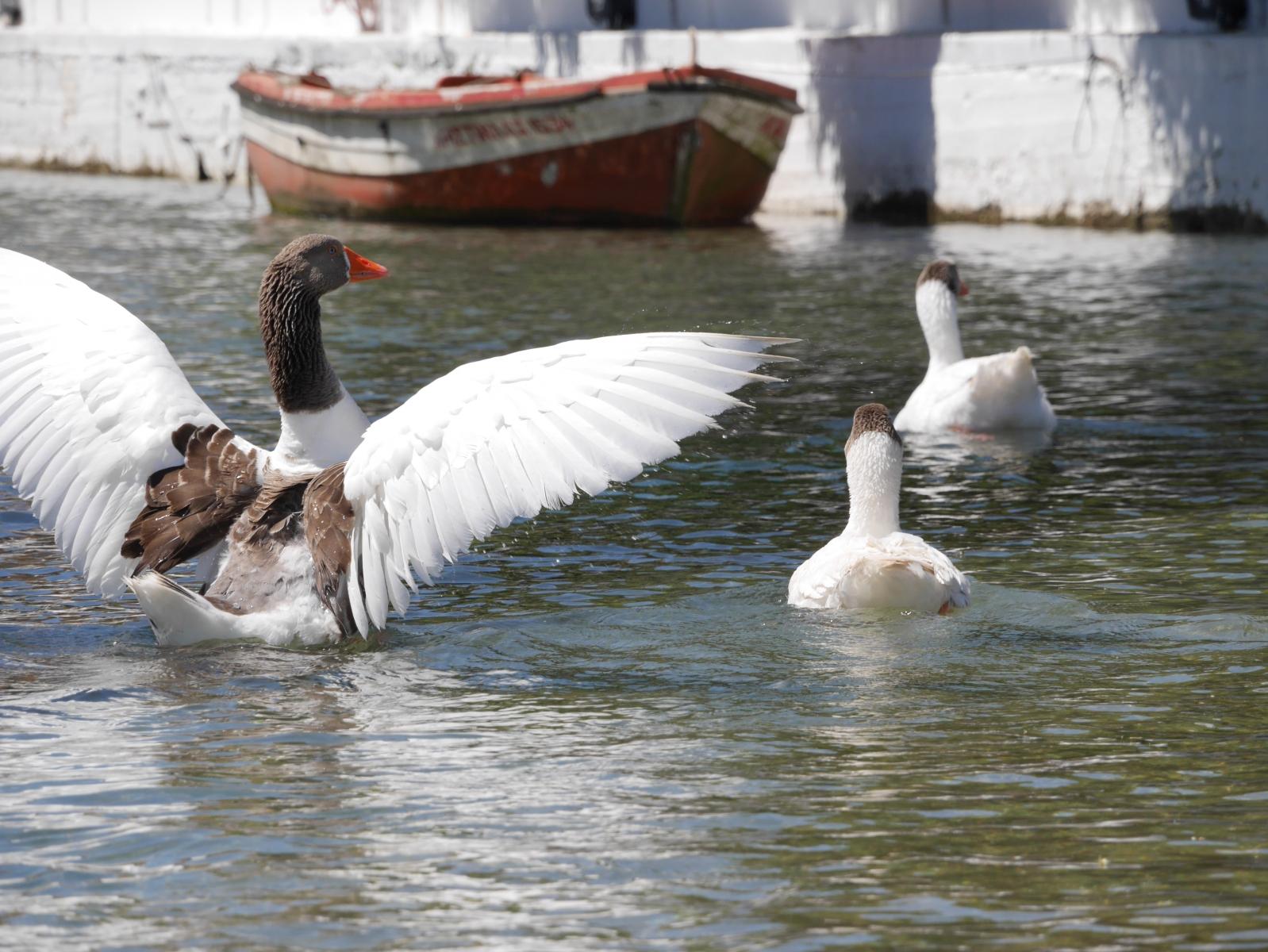 Gänse tummeln sich in einem kleinen Brackwassersee