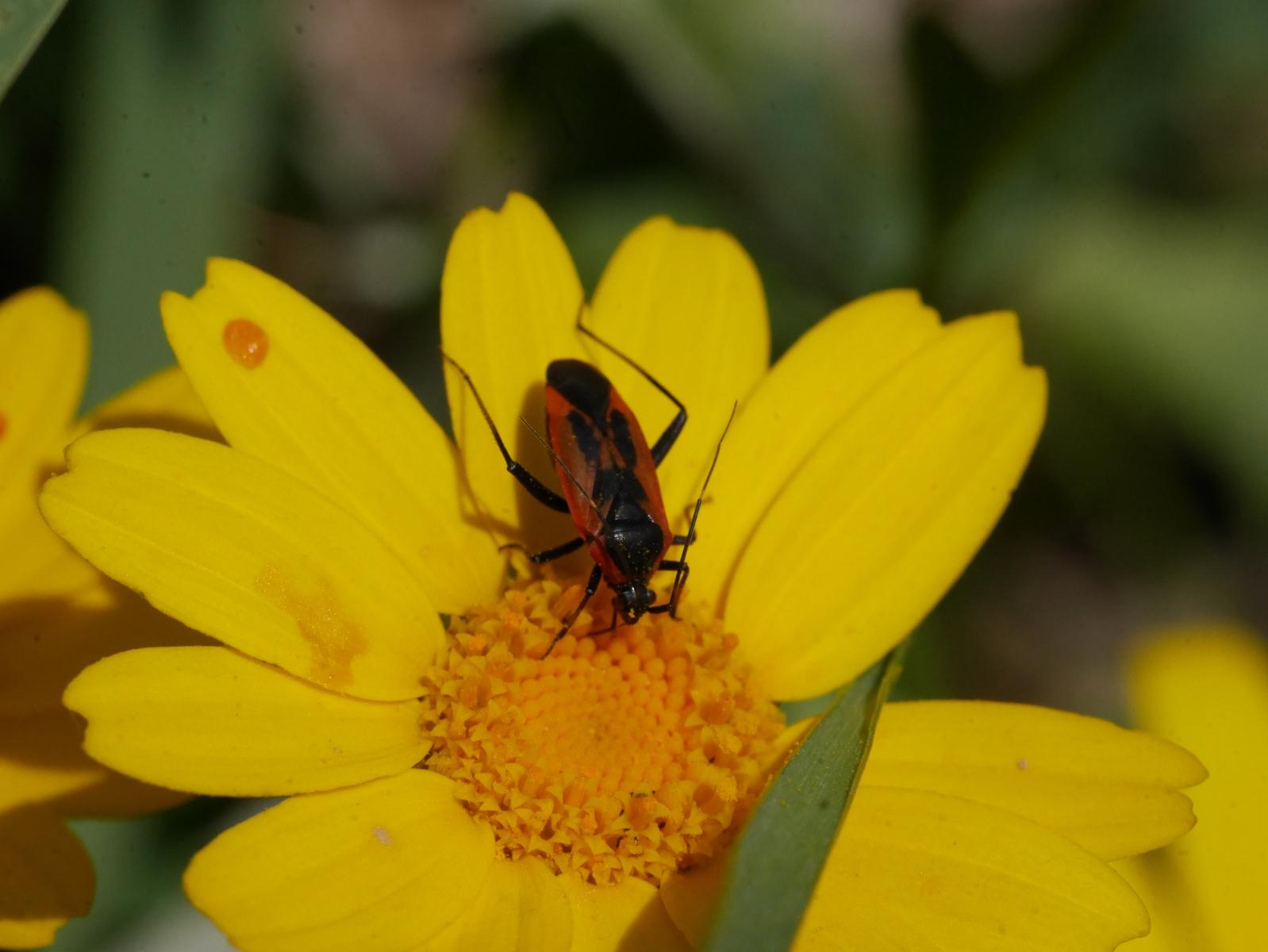 Gelbe Margeritte mit Rot-Schwarzem Käfer
