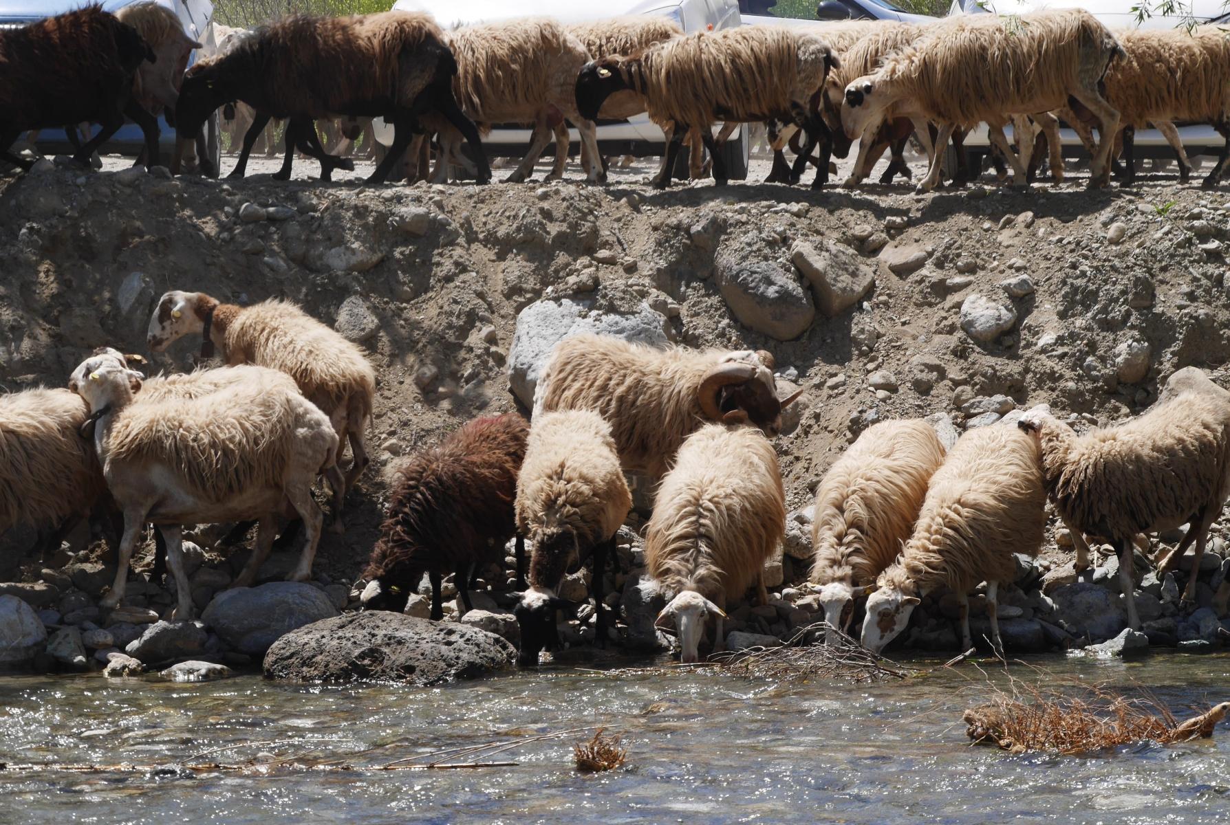 Schafherde am Fluss I
