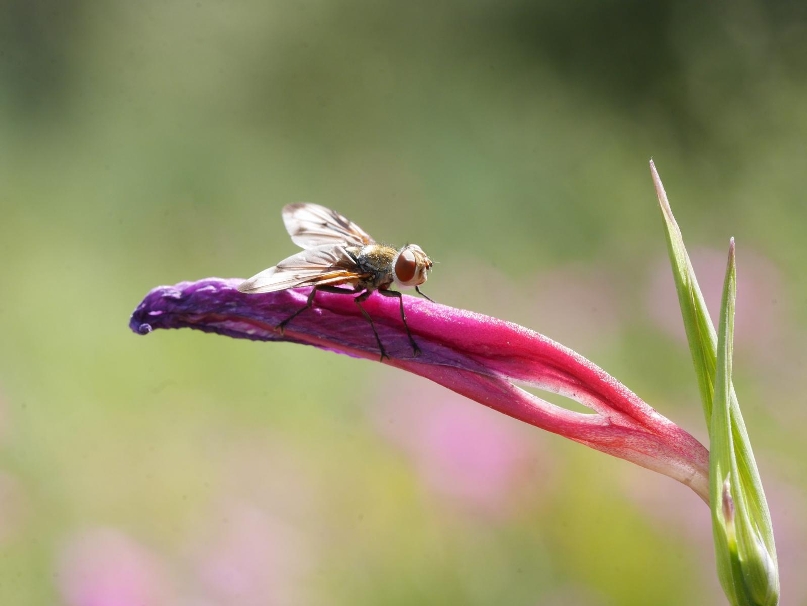 Dieses fliegenähnliche Insekt sieht aus, als wenn es auf der Blüte reiten würde. Dabei war es ganz still und ich hatte viel Zeit für die Einstellung des Objektives.