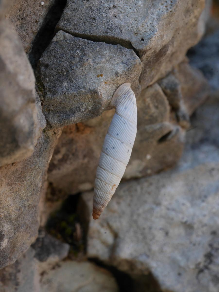 Eine Art Turmschnecken, die sich am Felsen festsaugen