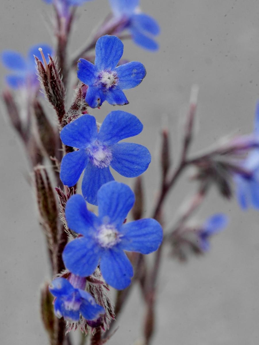 Zarte blaue Blüten