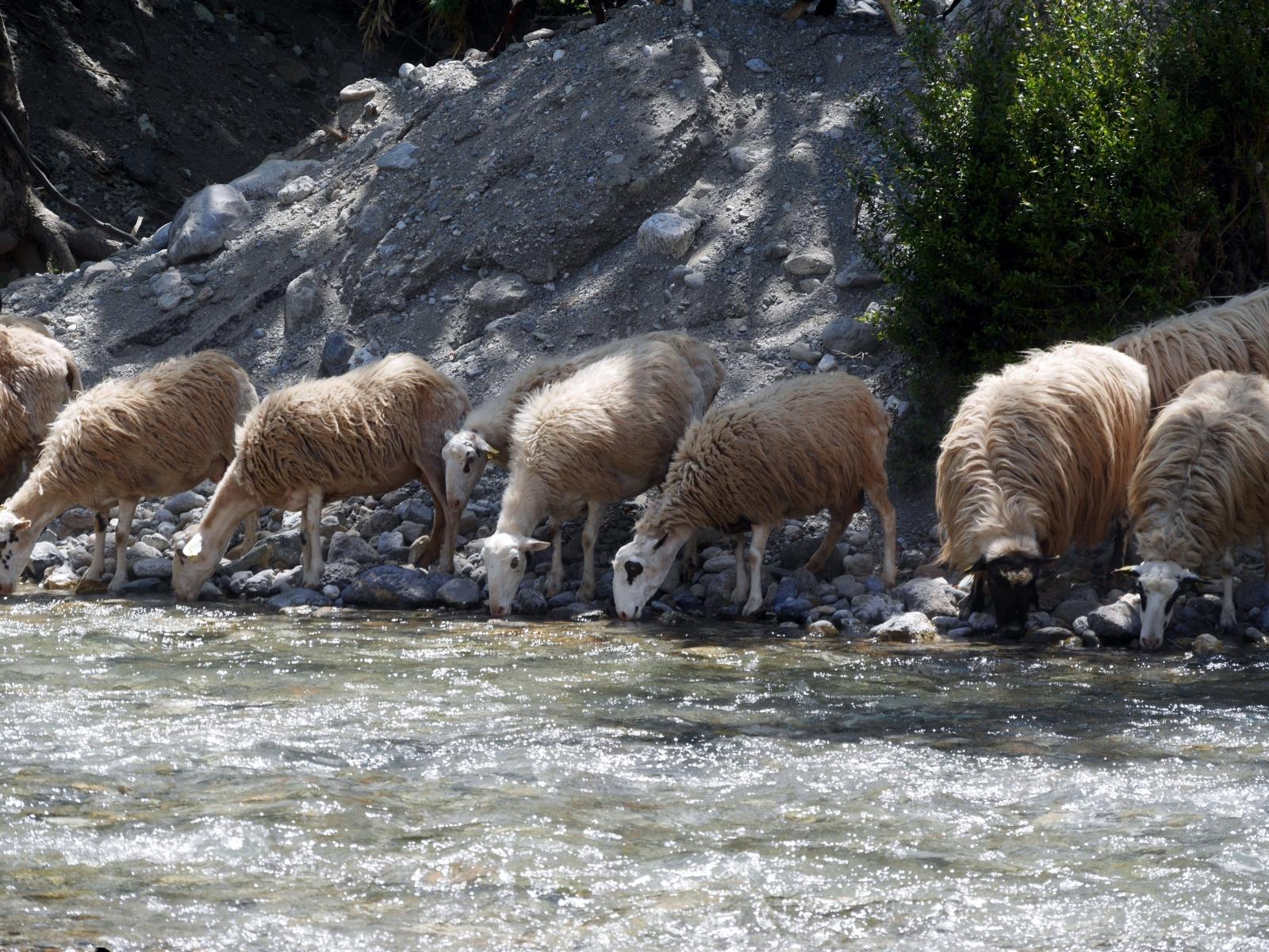 Schafherde am Fluss II