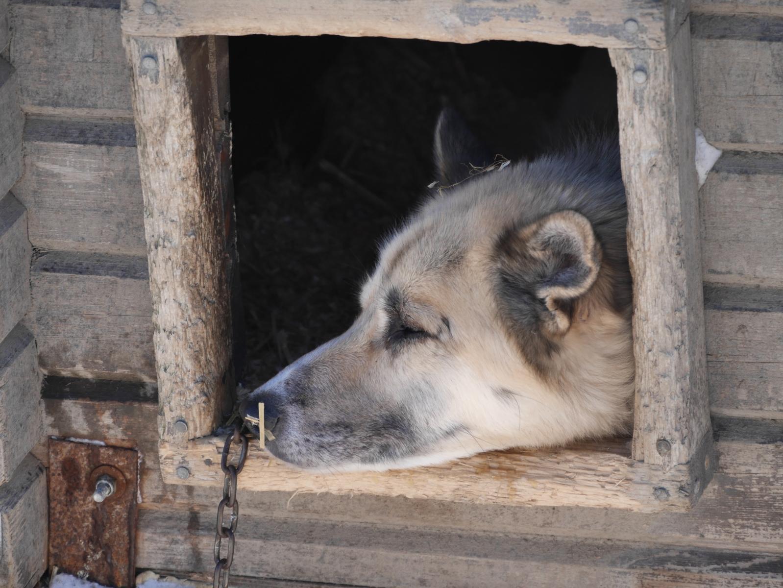 Auch in Kirkenes gibt es eine Schlittenhundefarm, die auf zahlende Besucher wartet. Dieses Vergnügen hat mit 250 - 300 € seinen Preis.