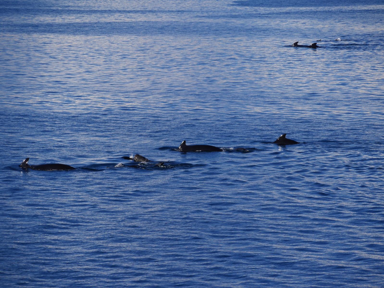 """Bei der Hafenausfahrt von Sandnessjoen begleitet uns eine Herde von Schweinswalen. Die Gruppe umfasst mehr als 20 Tiere, der Bootsmann entgegenete, """"dieses Schauspiel erlebt man höchstens einmal im Jahr."""""""