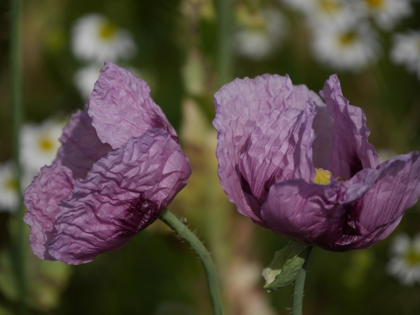 Gerade beim angebauten Mohn variieren die Farben in Flieder- und Violetttönen.