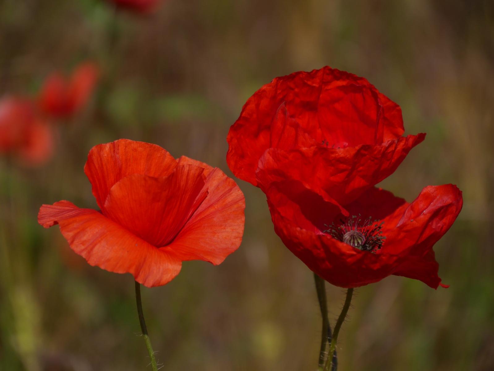 Leuchtend Rot bewegen sich die zarten Blütenblätter im Wind.