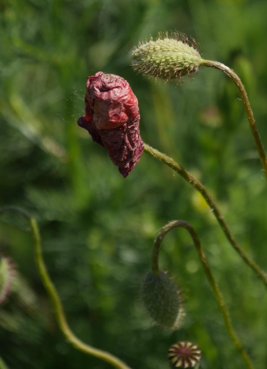 Knospe, Blüte und Kapsel - Werden und Vergehen, dicht beieinander