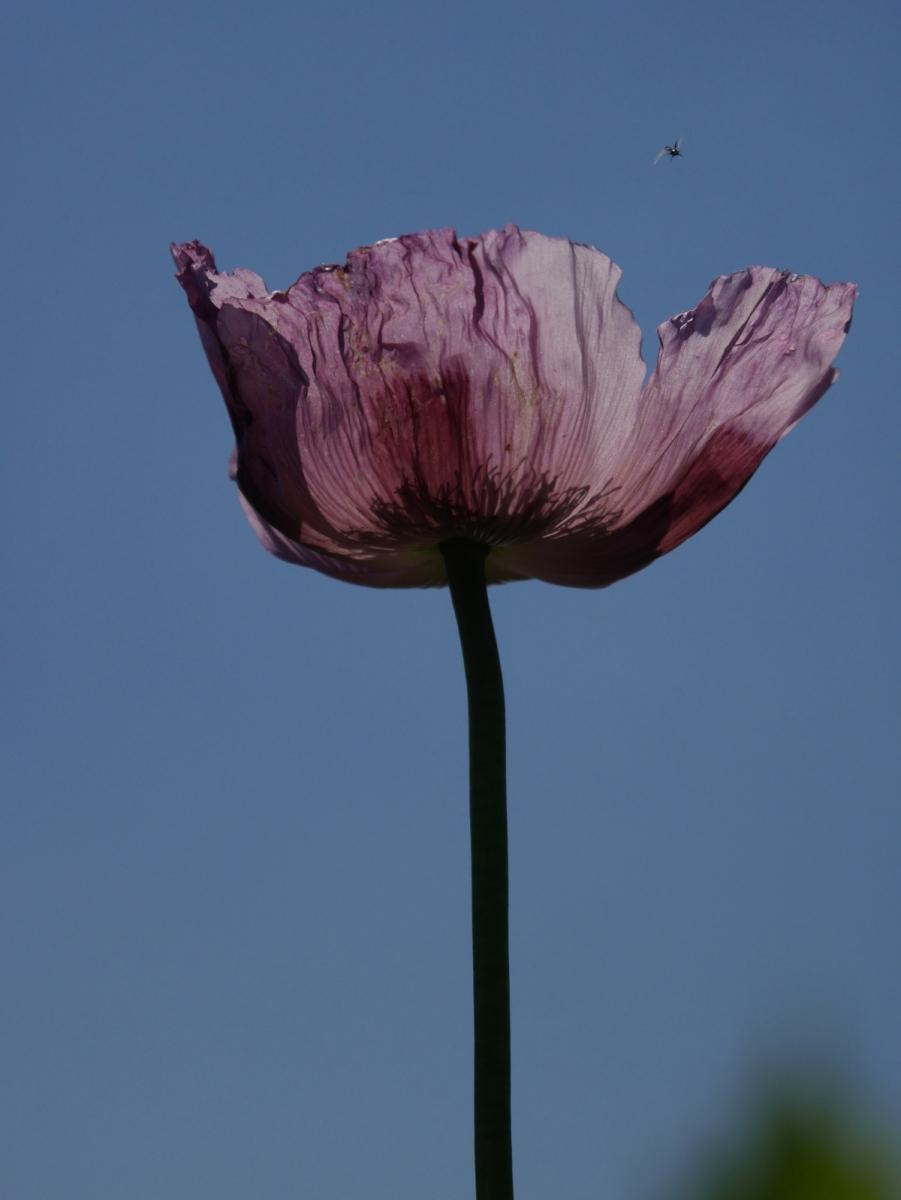 Mohnblüte von unten, zart und transparent III